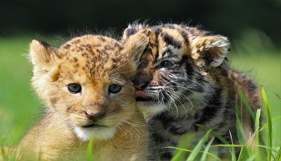Trois bébés tigres sont nés au zoo d'Oran